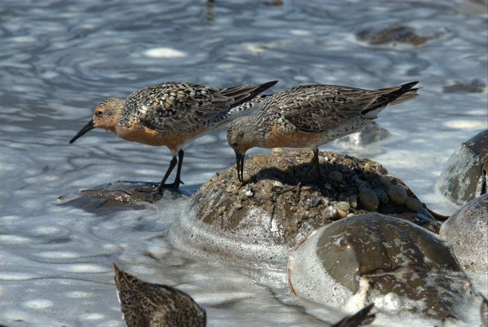 Fate of Migrating Red Knots Tied to Horseshoe Crabs