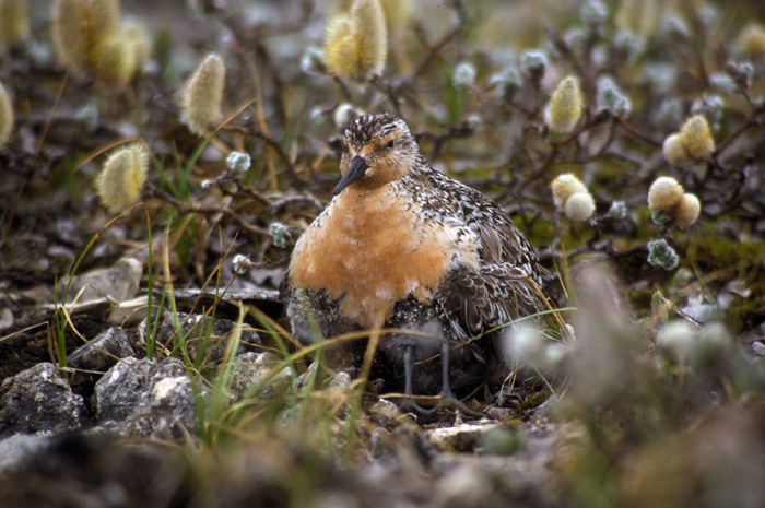 Nesting red knot on Southampton Island, Canada