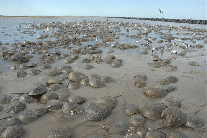 Horseshoe crabs spawning in Delaware Bay